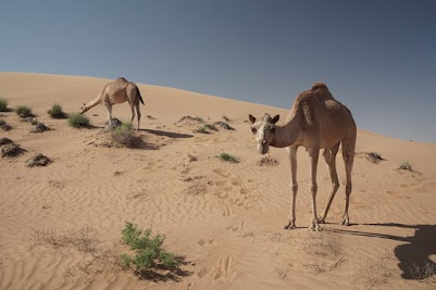 Kamele am Rand der Wahiba Wüste