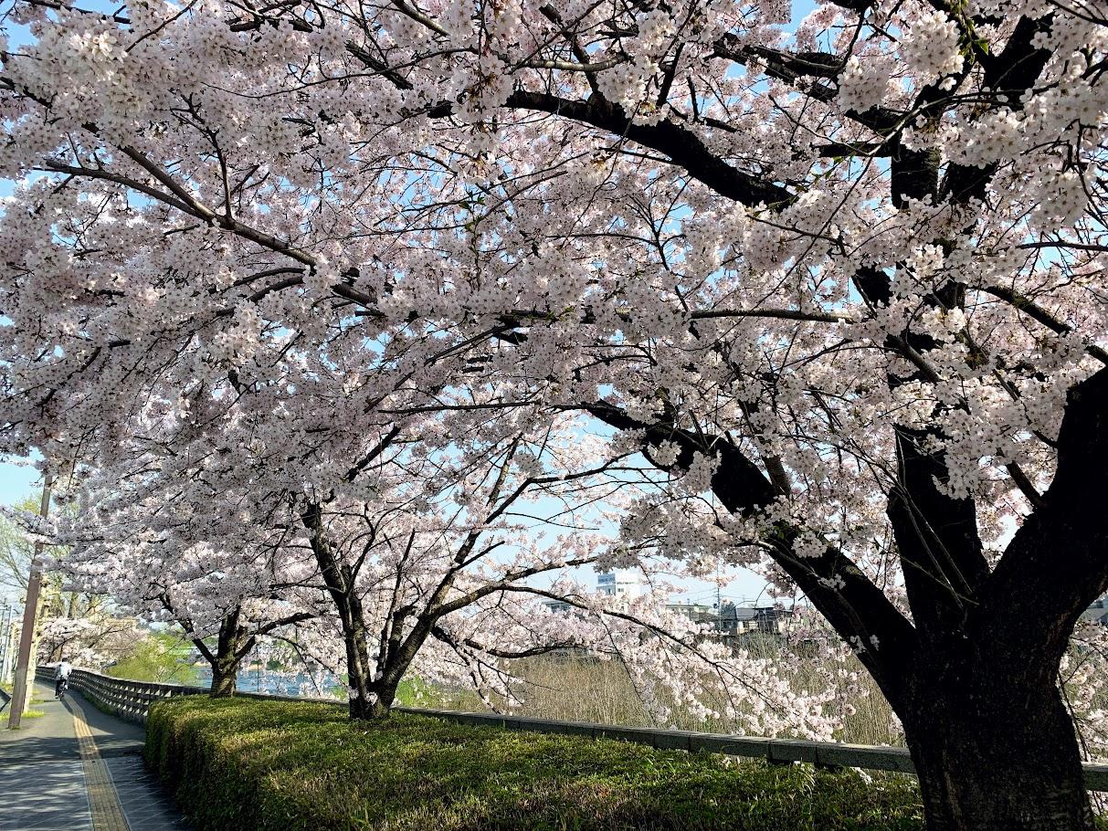 🌸夕顔瀬橋の桜並木🌸
