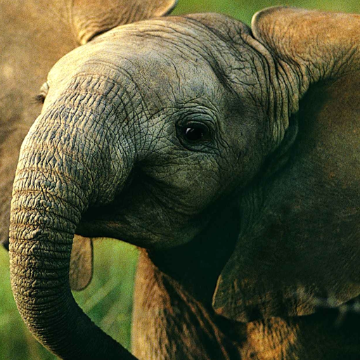 baby elephant wallpaper