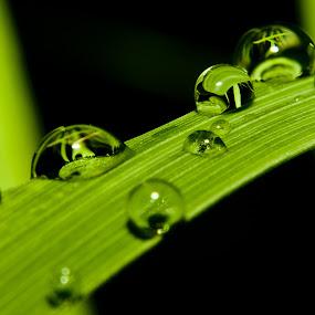Embun Di Daun Serai by Ismail Rali - Abstract Water Drops & Splashes ( water, macro, green, serai, embun, close up, flower )