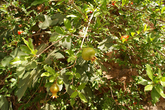 Photo: Pomegranate tree