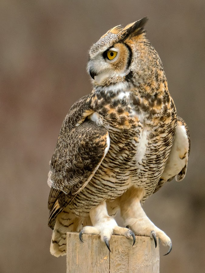 Owl at 800mm Equivalent  by Peter K. Burian - Animals Birds ( bird, predator, tiger owl, wings, bubo virginianus, owl, raptor, feathers, great horned owl,  )