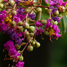 Crepe myrtle by Ashley Ellis - Nature Up Close Other Natural Objects ( purple, blooming, vivid, shrub, gardens, summer, pink, flower )