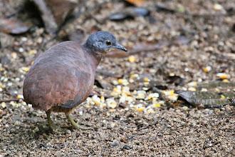 Photo: Little Tinamou