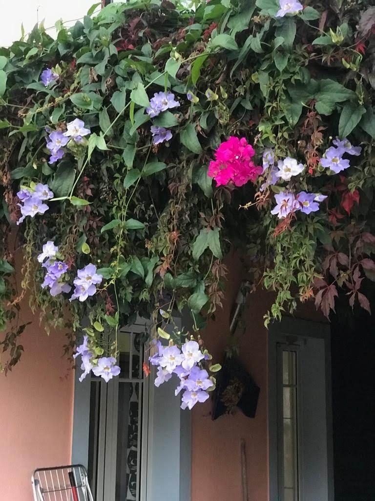 De pergola bij de keuken: paarse bougainville en blauwe thunbergia