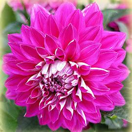 Chysanthemum by Caroline Beaumont - Flowers Single Flower ( chysanthemum, magenta chysanthemum, pink petals, pink chysanthemum, pink and white )