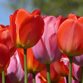 It's tulips time ll. by Helena Moravusova - Flowers Flower Gardens ( tulips, flowers, spring )
