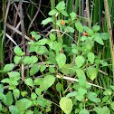 Jewelweed (Spotted Touch-me-not)