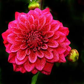 Dalhia n000276 by Gérard CHATENET - Flowers Single Flower