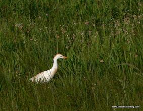 Photo: Cattle Egret, Texas Coast