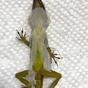 Garden Lizard?