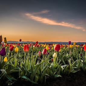 Woodenshoe Tulip Farm by Ivan Johnson - Flowers Flower Gardens (  )