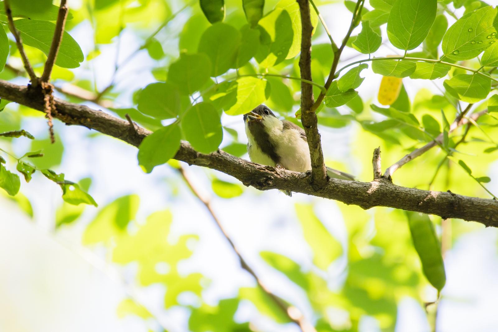 Photo: くすくす Chuckle.  どこからか 笑い声が聞こえた気がした あのにんげんは うろうろしながら なにをしているんだろう くすくす  Japanese Tit. (シジュウカラ)  #birdphotography #birds  #cooljapan #kawaii  #nikon #sigma   Nikon D7200 SIGMA 150-600mm F5-6.3 DG OS HSM Contemporary  ・小鳥の詩朗読 /poetry reading https://youtu.be/pehqYZw9cqI?list=PL2YtHGm0-R3qVsaqvQe9OYdJFCkI98wzF