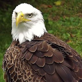 Eagle Eye by Diana Postill - Animals Birds ( bird, stock, eagle, beak, eyes,  )