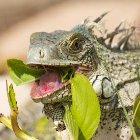 Iguana by Greg Bracco - Animals Amphibians ( saint maarten. bikini beach, canon 1d x mark ii, saint marten, mullet bay, greg bracco photography,  )