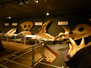 Photo: All of these fossils were discovered in Montana.