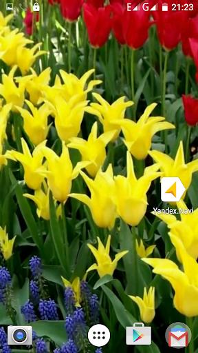 Beauty Tulips Video Wallpaper