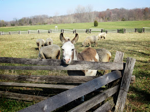 Photo: Donkey and sheep at Carriage Hill Metropark in Dayton, Ohio.