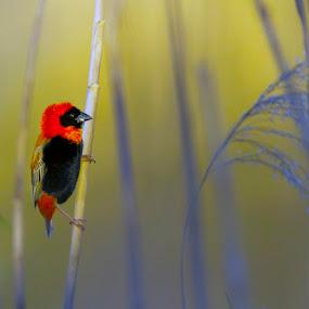 Red Bishop by Louis Groenewald - Animals Birds