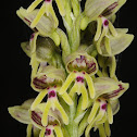 Galilee Orchid