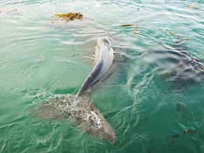 Photo: Humpback Playing in Kelp