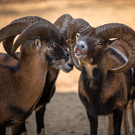 Bighorn rams speaking by Mircea Mihai - Animals Other ( #ram, #sheep, #horn, #lovely, #bighorn, #funny, #shot, #bighornsheep, #speaking, #rams, #amzing, #cool, #bighornrams,  )