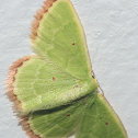 Unknown Emerald Moth / Mariposa-Esmeralda Desconhecida