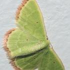 Eucrostes Emerald Moth