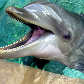 Dolphin Smile by George Bloise - Animals Amphibians