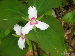 Photo: Painted trillium at Ricker Pond State Park by Cindy Masi-Neuenfeldt