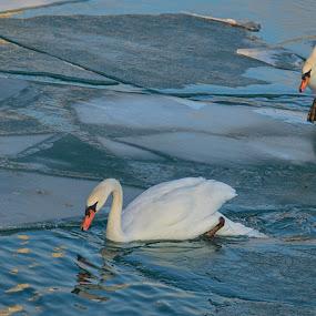 The Stalker by Gerda Grice - Animals Birds ( water, lake ontario, mute swans, canada, ice, toronto, reflections, water birds, ontario,  )