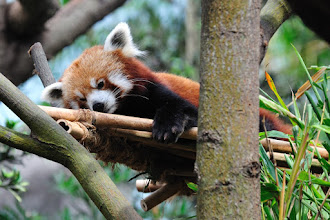 Photo: My wife's favorite red panda!