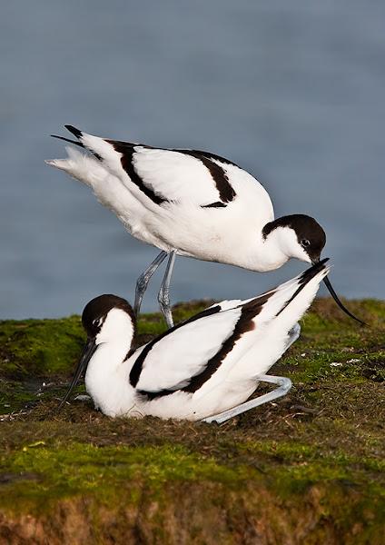 Photo: Avocets nesting - Texel, Nederlands