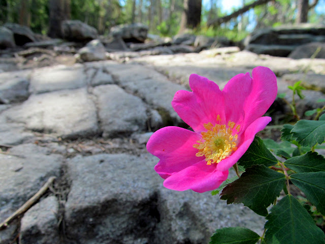 Wild rose alongside the trail