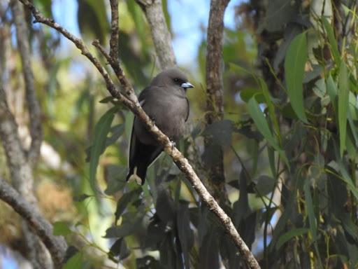 A xxxxxxxx of Woodswallows