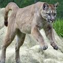 Puma Live Wallpaper icon