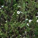 White Heath Aster