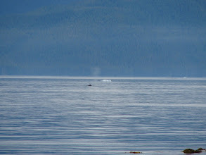 Photo: A Humpback Whale surfaces amid small ice bergs in Stephens Passage.