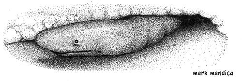 Photo: Typhlonectes natans | Rubber eel