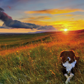 Midnight sunset in west Iceland by Kristján Karlsson - Animals - Dogs Portraits ( iceland, sunset, dog )