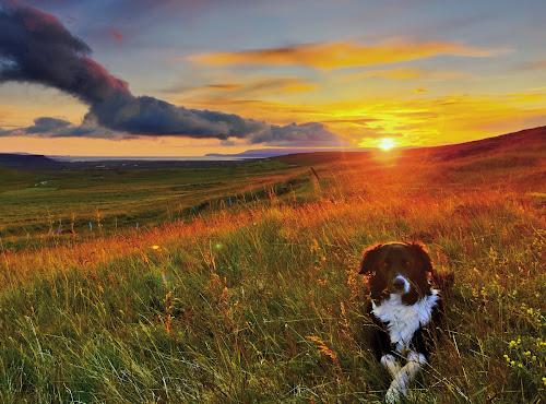 Midnight sunset in west Iceland by Kristján Karlsson - Animals - Dogs Portraits ( iceland, sunset, dog )