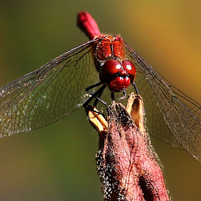 Red dragonfly by Claudiu Petrisor - Animals Insects & Spiders ( water, red, botanic garden, romania, dragonfly,  )