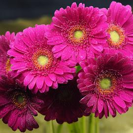 Seven Naughty Children by Gillian James - Flowers Flower Arangements ( water drops, daisy, pink, close up, gerbera, flower )