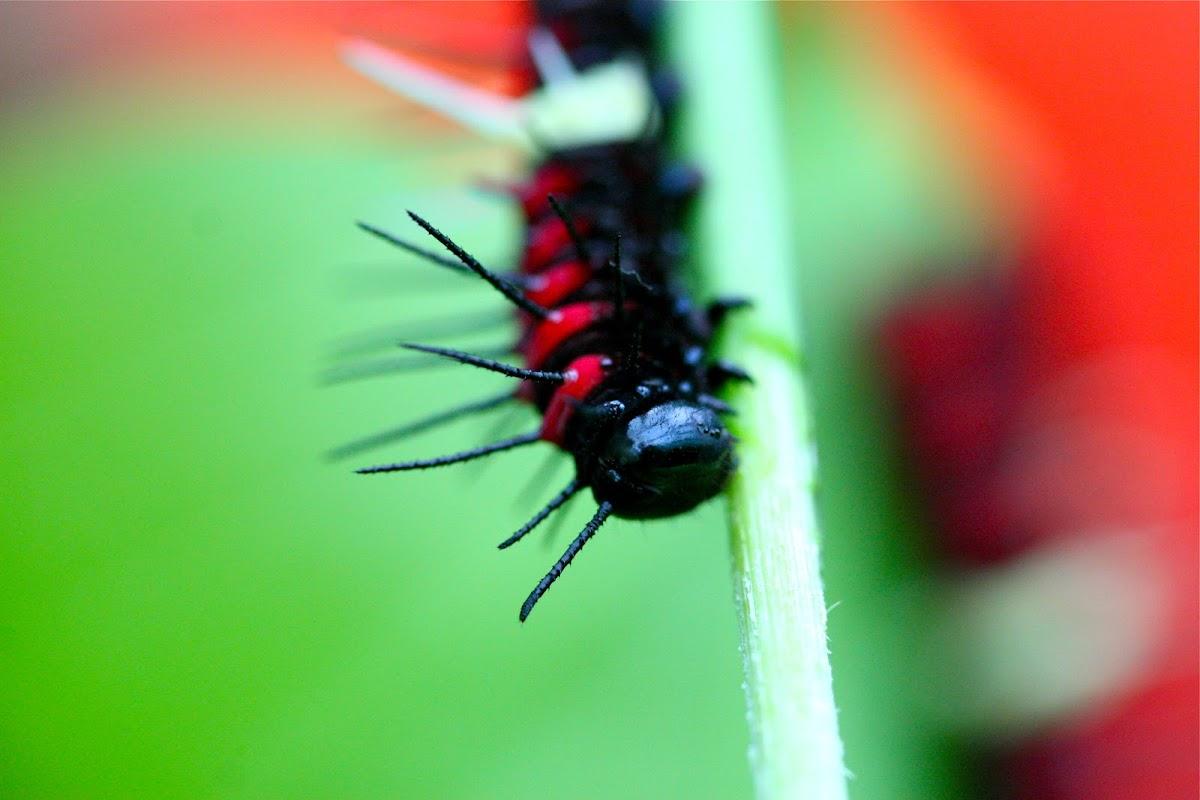Lacewing Caterpillar