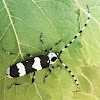 Banded alder beetle