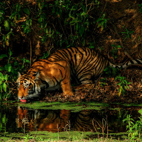 Moments with the King by Rohit Chawla - Animals Other Mammals ( ranthambore, tiger, jungle, rajasthan, royal bengal tiger, cosurvivor, forest, india, roadtrip )