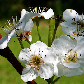 Bradford Pear by Dave Walters - Flowers Flowers in the Wild ( nature, lumix fz200, cluster, bradford pear, flowers,  )