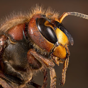 The bit bee by Einar Bjaanes - Animals Insects & Spiders ( bee, nature up close )