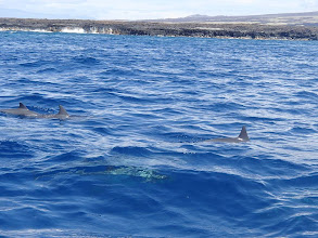 Photo: Another picture taken by Laurel. These are Spinner Dolphins that swim closer to shore than the whales. Notice that other critter closer to the camera. Eel?