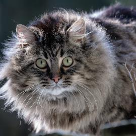 Help! by Debbie Slocum Lockwood - Animals - Cats Portraits (  )